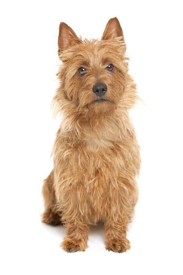 Terrier australiano imagen de archivo libre de regalías