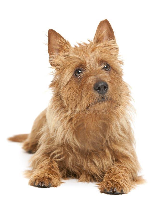 Terrier australiano foto de archivo