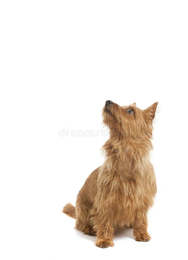 Terrier australiano foto de archivo libre de regalías