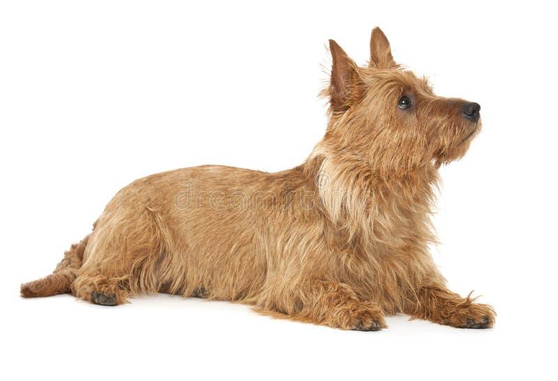 Terrier australiano foto de stock royalty free