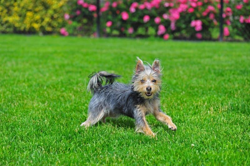 Terrier australiano runing en hierba imagen de archivo