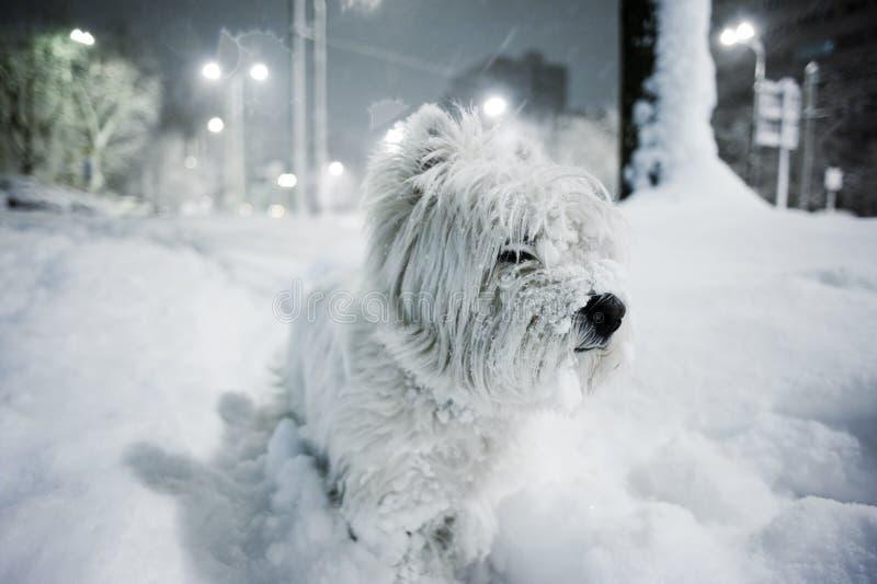 Terrier bianco ad ovest immagini stock libere da diritti