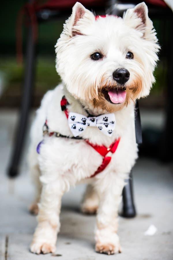 Terrier bianco con la cravatta a farfalla immagine stock
