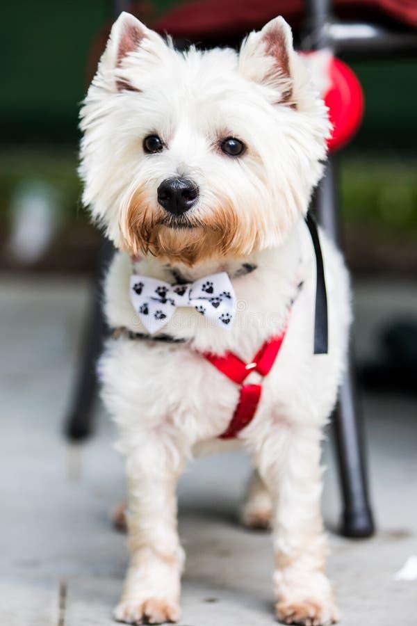 Terrier bianco con la cravatta a farfalla fotografie stock