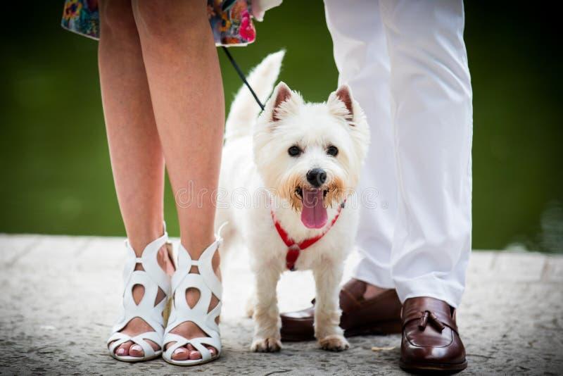 Terrier bianco con la cravatta a farfalla immagine stock libera da diritti