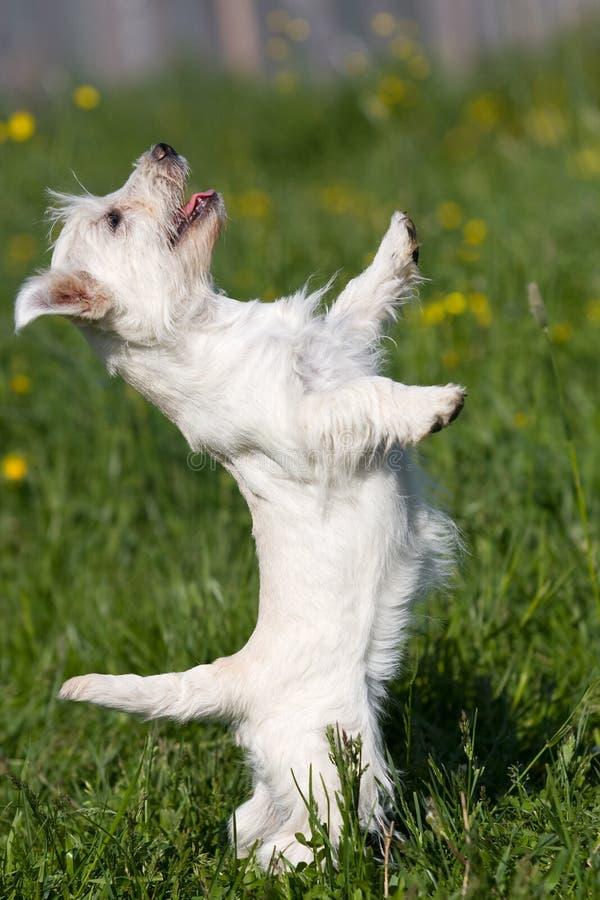 Terrier bianco di altopiano ad ovest immagini stock libere da diritti