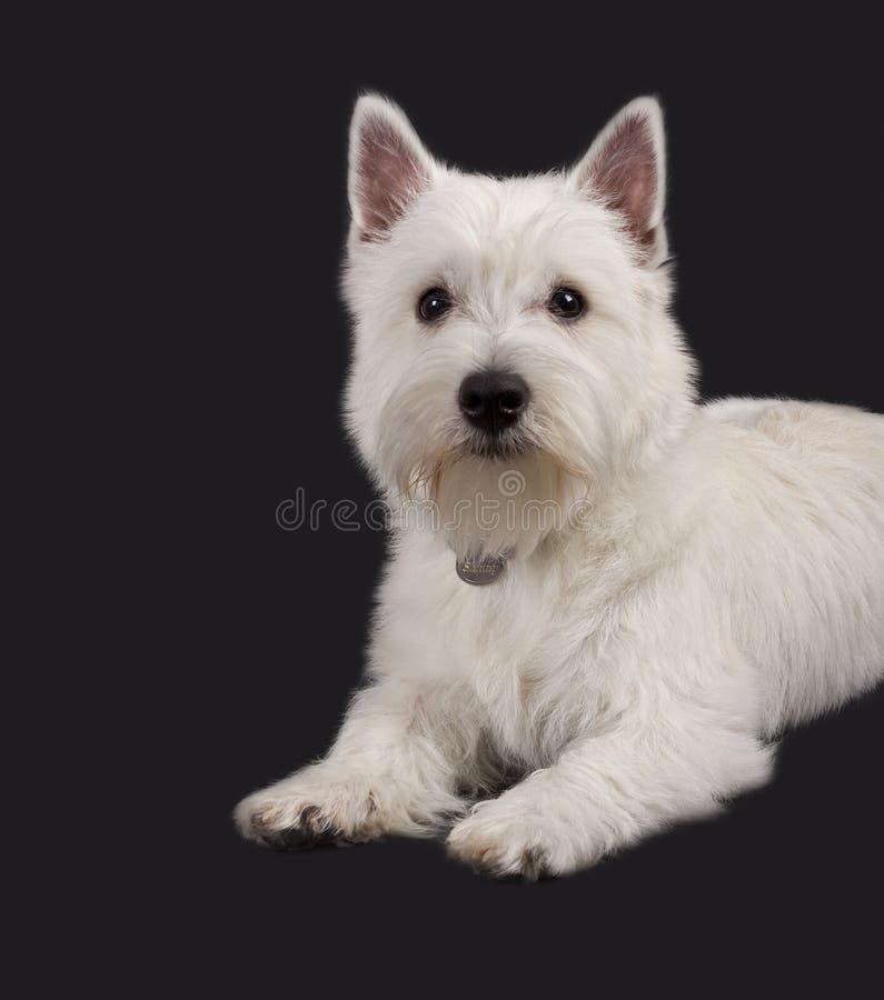 Terrier bianco di altopiano ad ovest fotografie stock