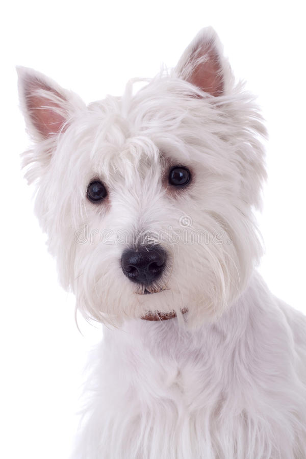 Terrier bianco di altopiano ad ovest fotografia stock libera da diritti