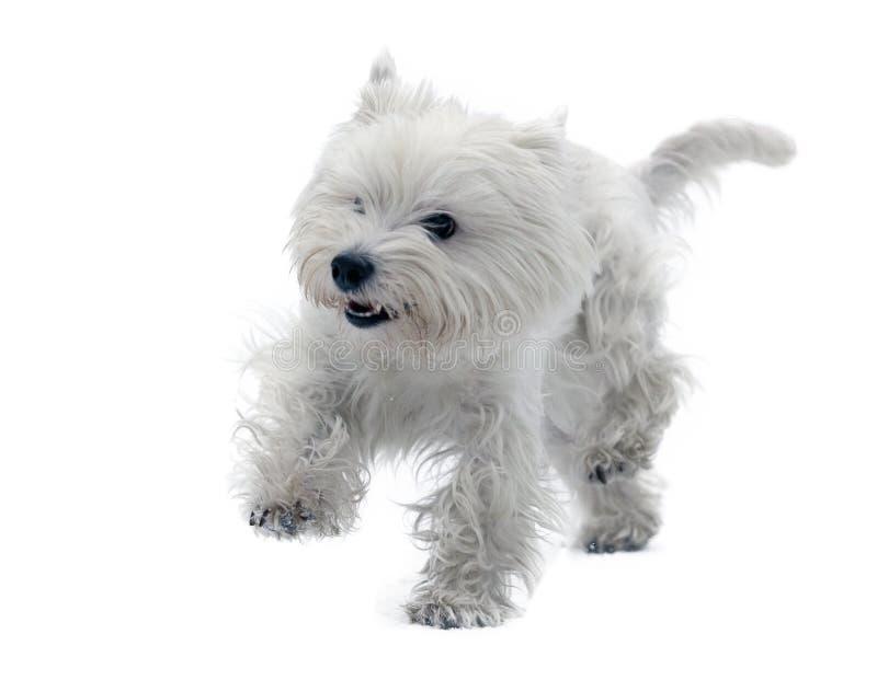 Terrier bianco di altopiano ad ovest immagine stock libera da diritti