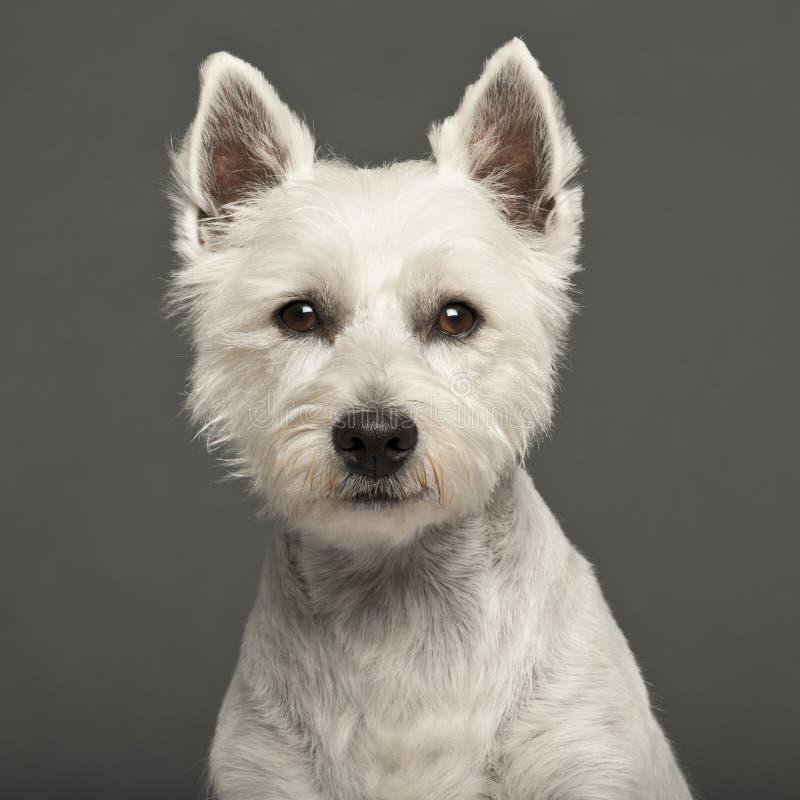 Terrier bianco di altopiano ad ovest, 2 anni immagine stock