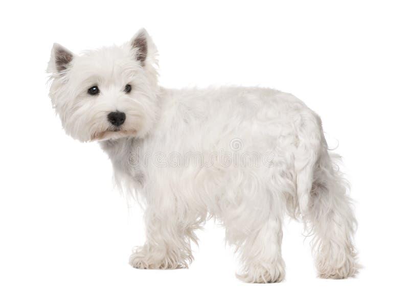 Terrier bianco di altopiano ad ovest () immagini stock