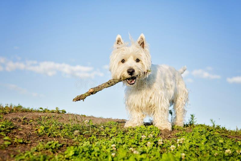Terrier bianco di altopiano ad ovest un cane molto bello immagine stock