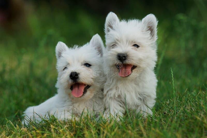Download Terrier Blanco De Montaña Del Oeste Imagen de archivo - Imagen de pequeño, perro: 1281729