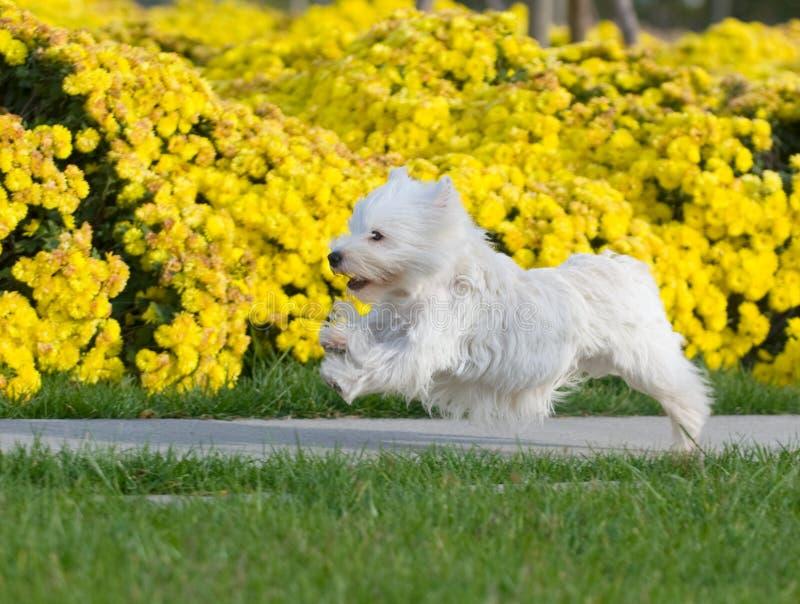 Terrier Blanco De Montaña Del Oeste Fotografía de archivo libre de regalías
