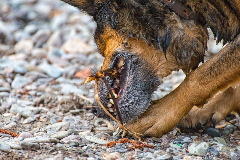 Terrier blandad avelhund som tuggar på en liten träpinne royaltyfri foto
