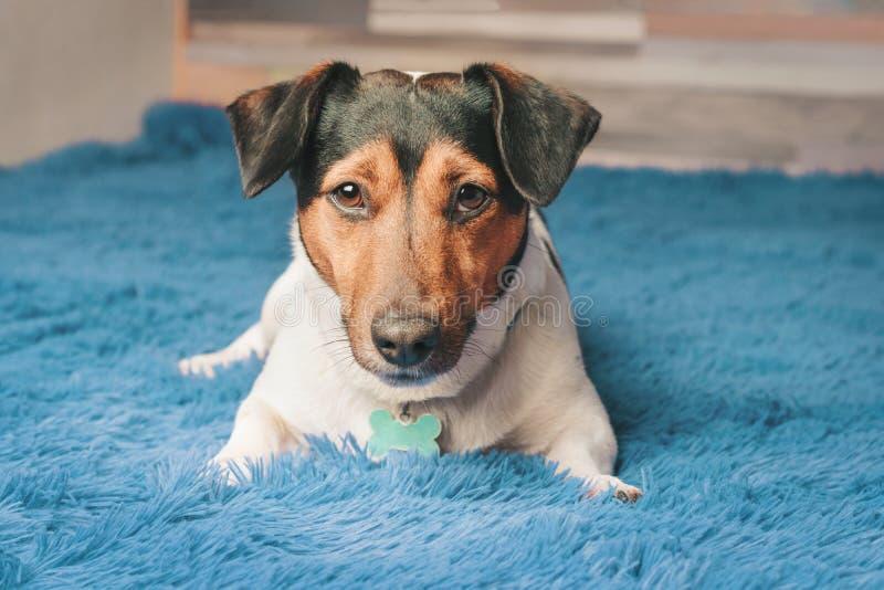 Terrier bonito de Russel do jaque da raça do cão imagens de stock royalty free