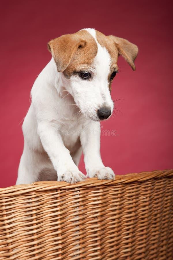 Terrier bonito de russell do jaque na cesta de vime foto de stock royalty free