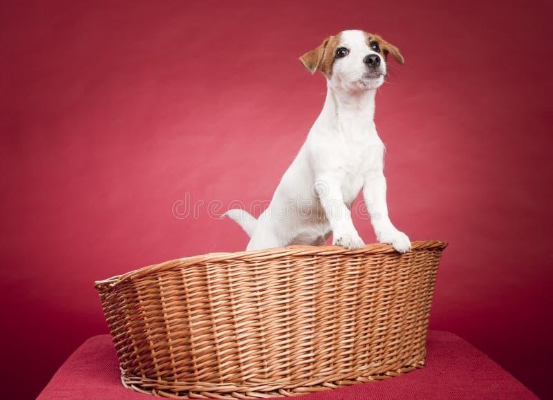 Terrier bonito de russell do jaque na cesta de vime fotografia de stock