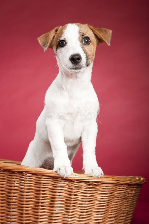 Terrier bonito de russell do jaque na cesta de vime foto de stock
