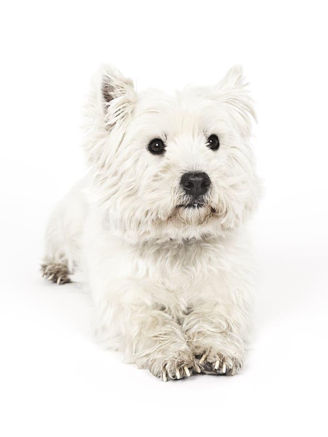 Terrier branco imagem de stock