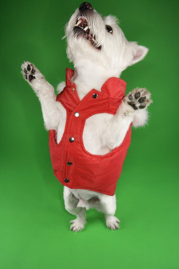 Terrier branco em um equipamento vermelho. imagem de stock royalty free