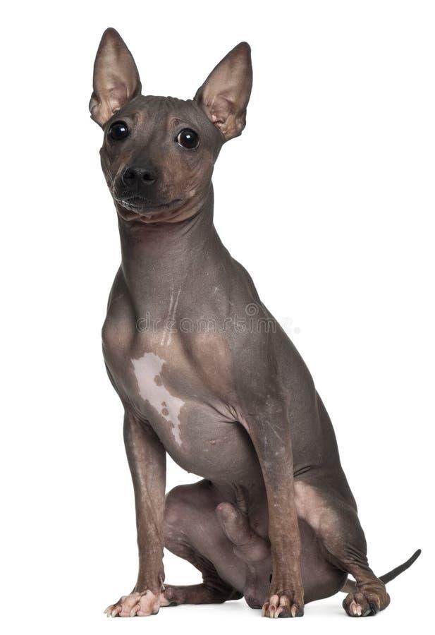 Terrier calvo americano, 6 meses velho, sentando-se fotografia de stock