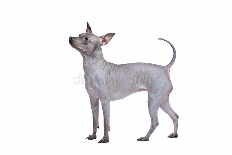 Terrier calvo americano fotografia de stock royalty free