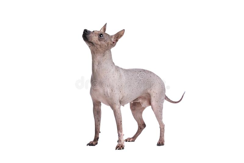 Terrier chauve américain photos stock