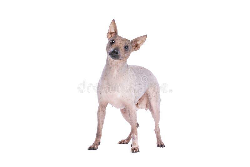 Terrier chauve américain photo libre de droits