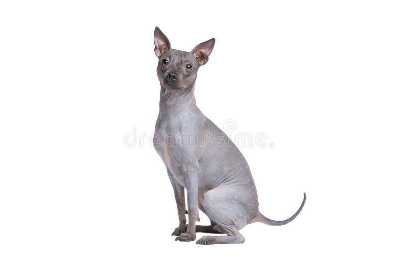 Terrier chauve am?ricain photo stock
