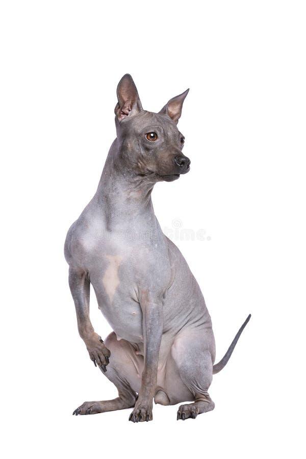 Terrier chauve am?ricain photographie stock