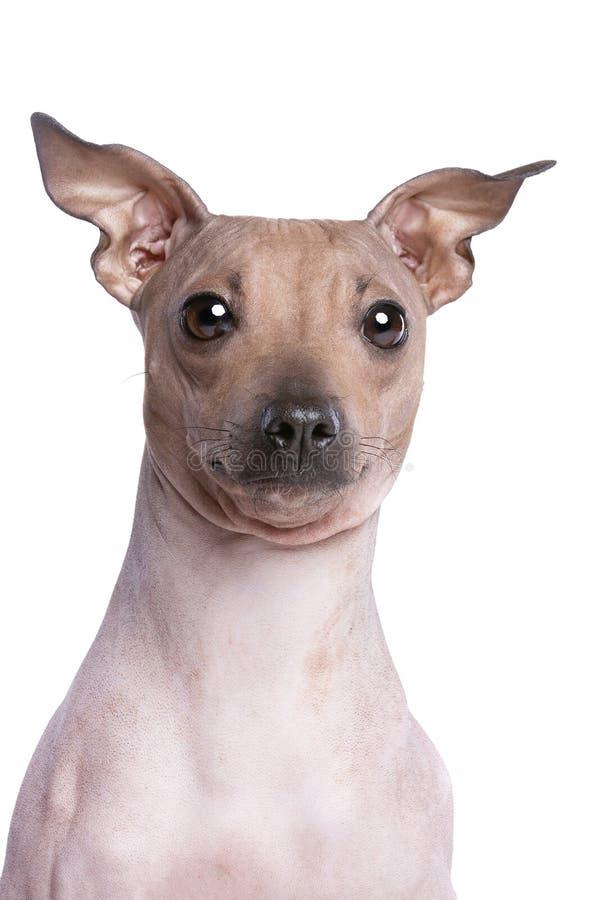 Terrier chauve am?ricain photos libres de droits