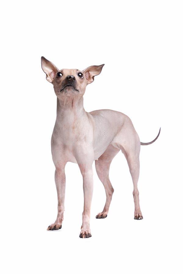 Terrier chauve am?ricain photographie stock libre de droits