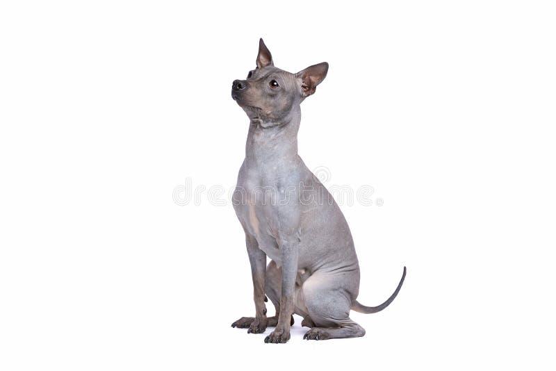 Terrier chauve am?ricain images libres de droits