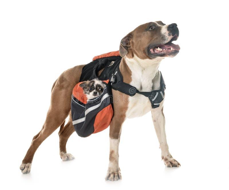 Terrier, chihuahua e borsa di Staffordshire americano immagine stock
