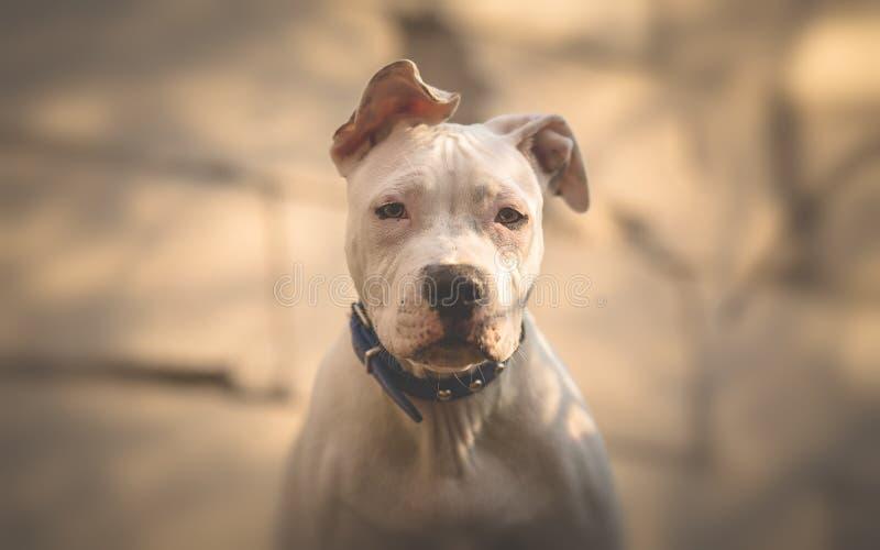Terrier completamente bianco di Staffordshiere dell'americano immagine stock