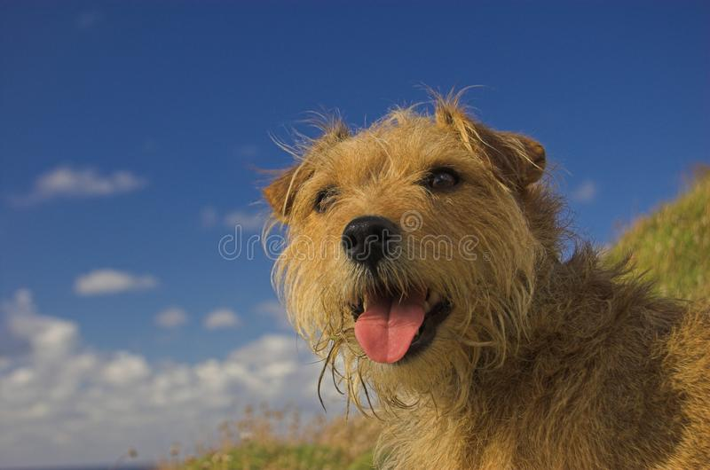 Terrier Cross Dog Sitting Happy stock photo