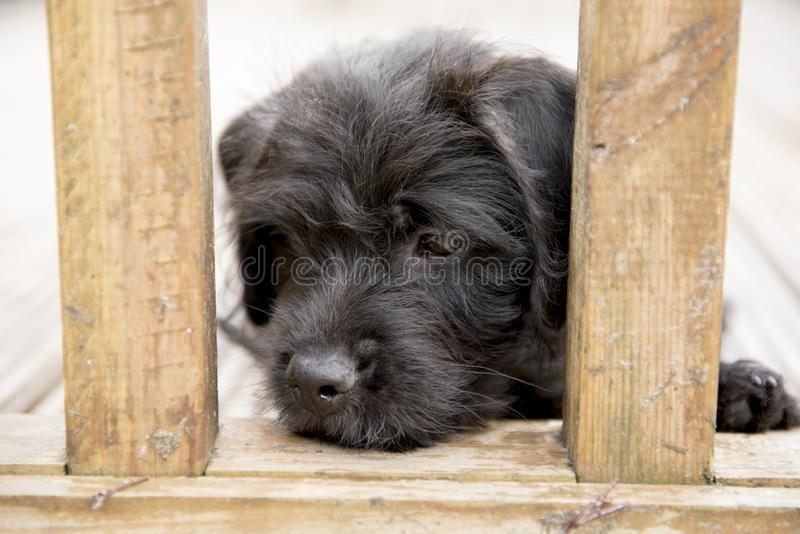 Terrier cross puppy resting his head between fence posts. Outdoors royalty free stock photo