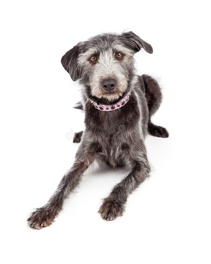 Terrier Crossbreed Jest ubranym Ładnego kołnierz obraz royalty free