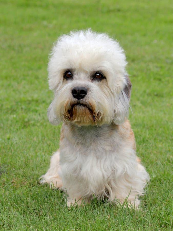 Terrier Dandie Dinmont стоковые изображения rf