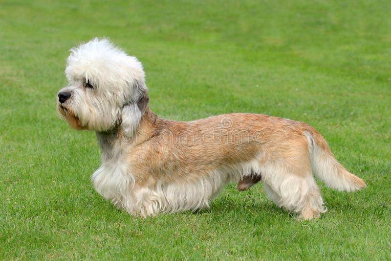 Terrier Dandie Dinmont стоковое изображение