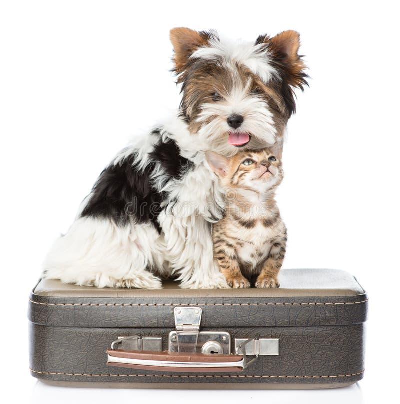 Terrier de Biewer-Yorkshire e gato de bengal que senta-se em um saco Isolado foto de stock royalty free