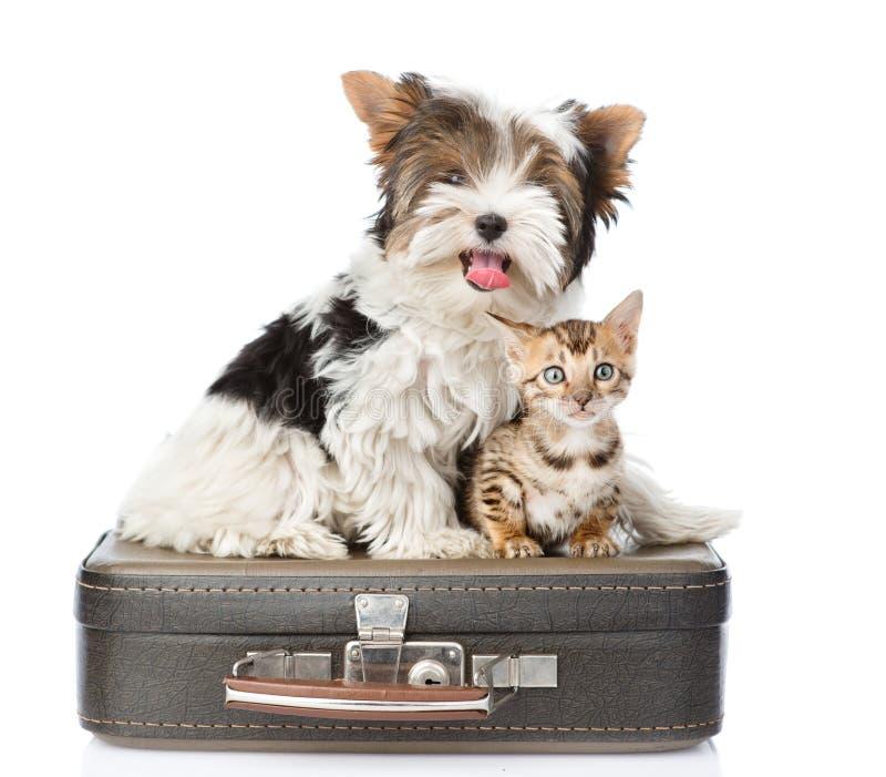 Terrier de Biewer-Yorkshire e gato de bengal que senta-se em um saco Isolado no branco fotografia de stock