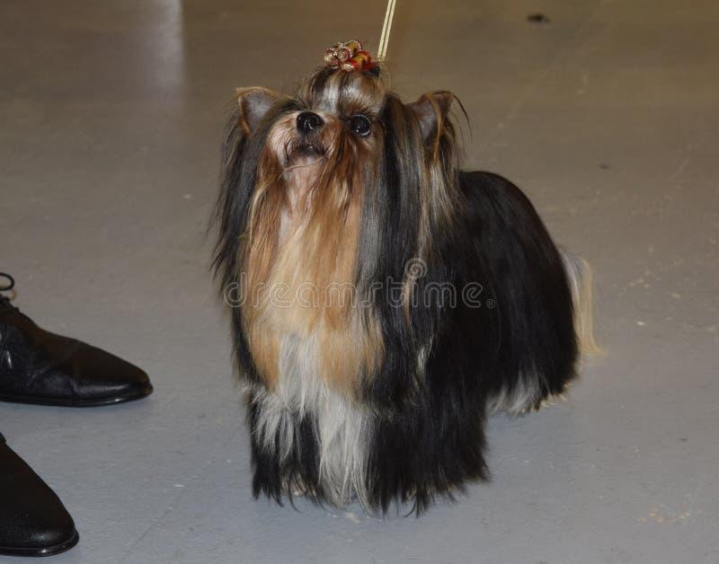 Terrier de Biewer Yorkshire Race de chien images libres de droits