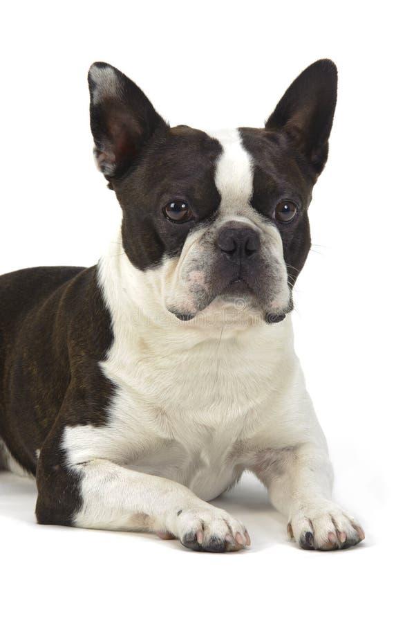 terrier de Boston del perro foto de archivo