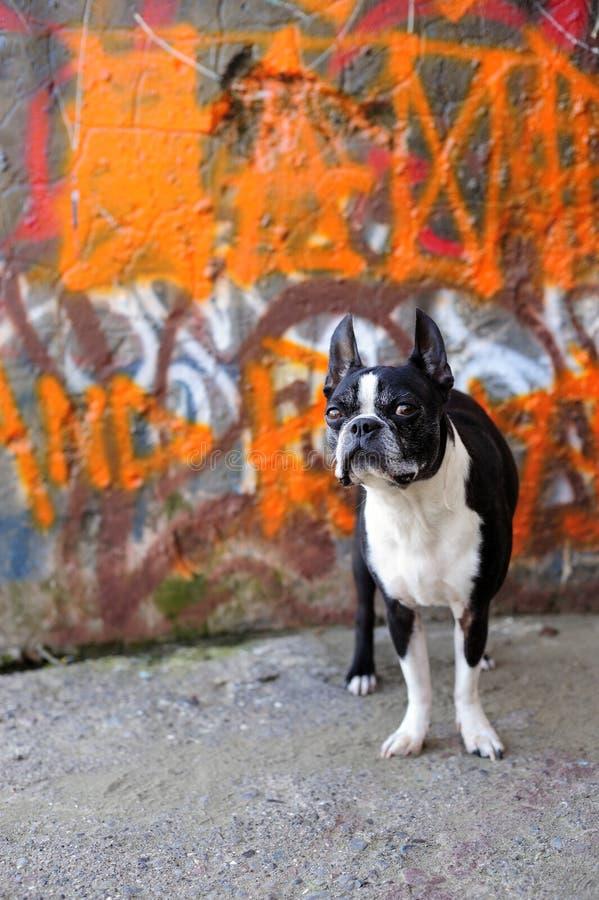 Terrier de Boston e grafittis alaranjados 3 fotografia de stock royalty free