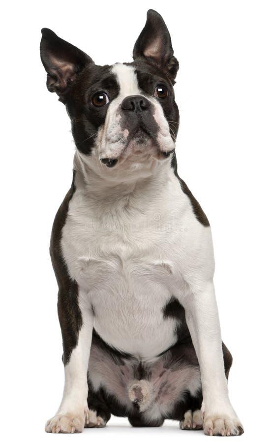 Terrier de Boston, o 1 anos de idade, sentando-se imagem de stock royalty free