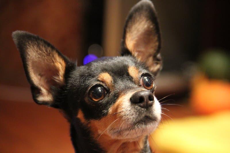 Terrier de brinquedo do russo, cão pequeno, cão do bolso imagem de stock royalty free