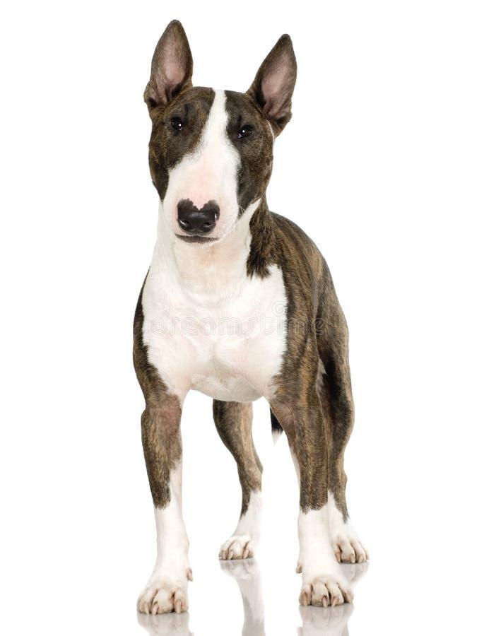 Terrier de Bull (2 años) fotos de archivo