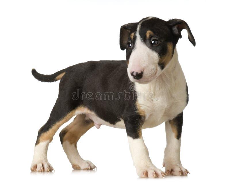 Terrier de Bull foto de stock royalty free